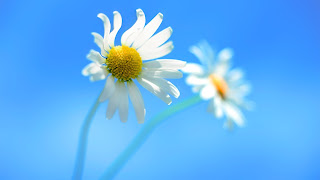 Two Flowers - Windows 8 Official HD Wallpaper