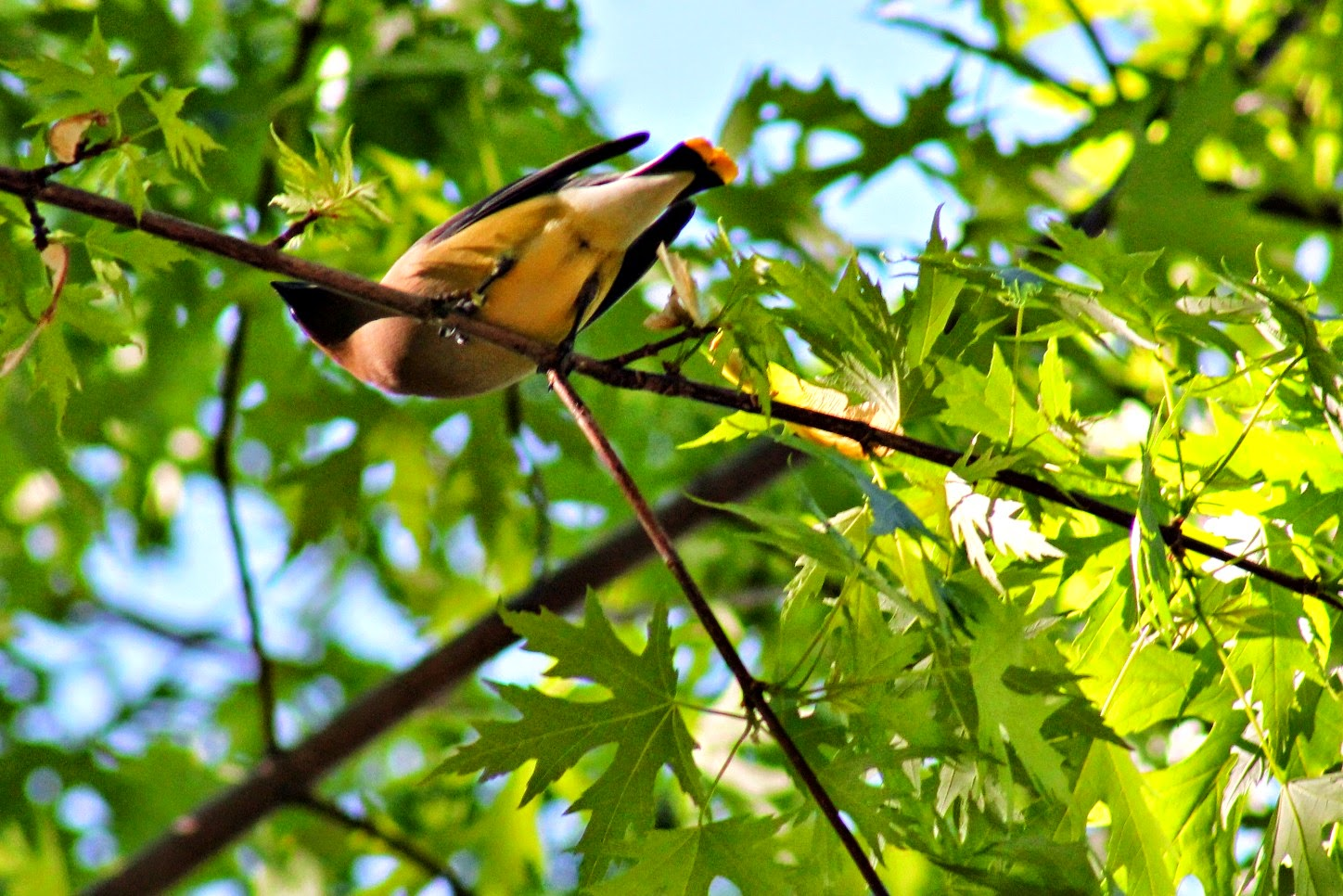 Migration of the Cedar Wax Wings - Easy Life Meal & Party Planning