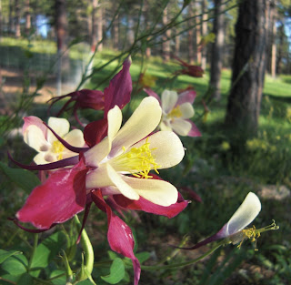 Columbine photo by Lee Alley