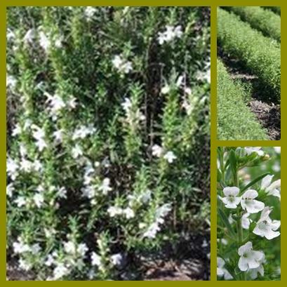 Plantas medicinales a tu salud 12 27 12 for Ajedrea de jardin