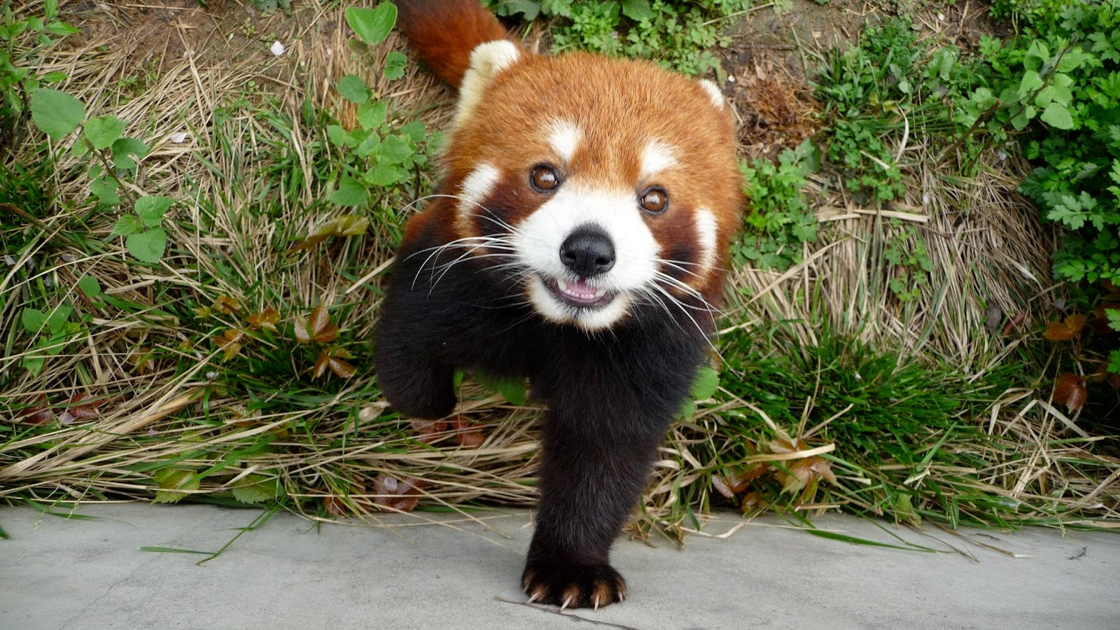 40 Adorable red panda pictures (40 pics), red panda in the zoo