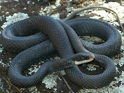 Here some picture about venomous black snake. black racer snake venomous