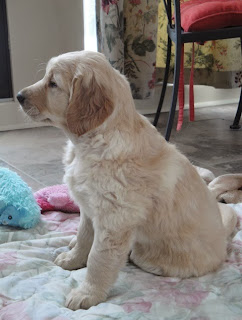 Golden retriever puppy sitting up looking alert.