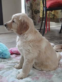 Golden retriever puppy sitting up looking alert.