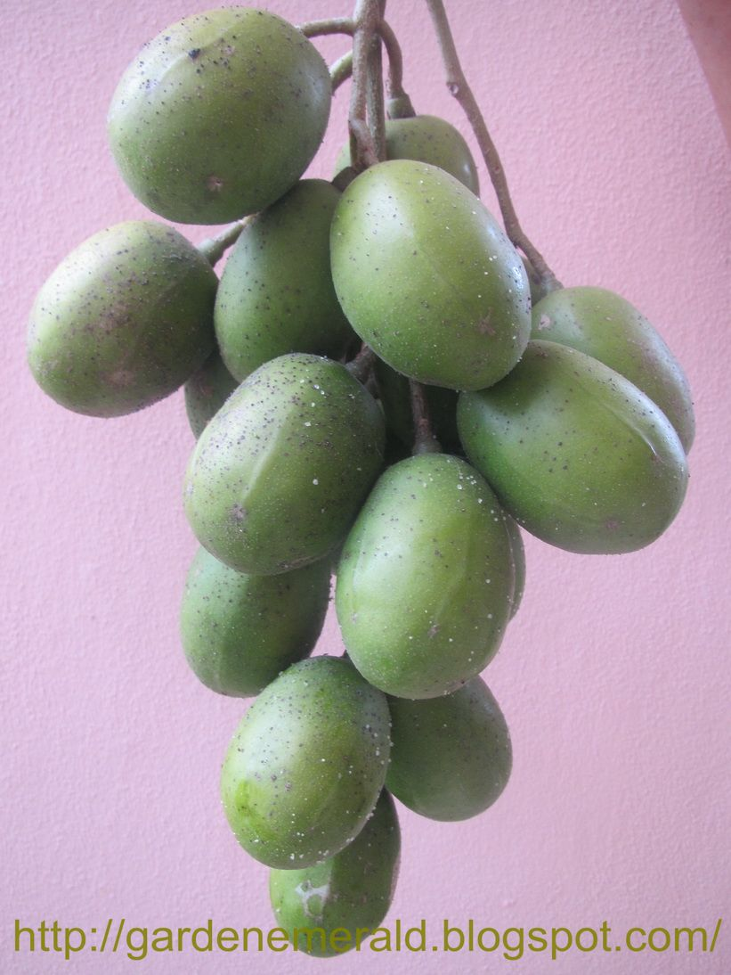 Buah Kedondong Ambarella on House With Apartment Mother In Law