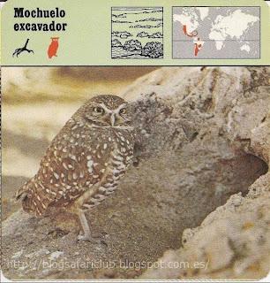Blog Safari Club, el Mochuelo excavador, vive en madrigueras en compañía de los Crótalos