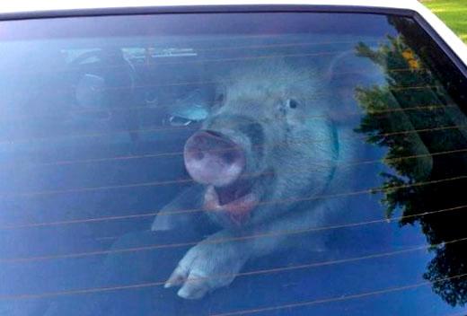 porco sapeca