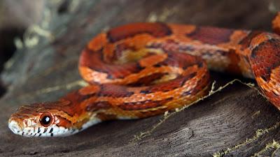 Jual murah Corn Snake