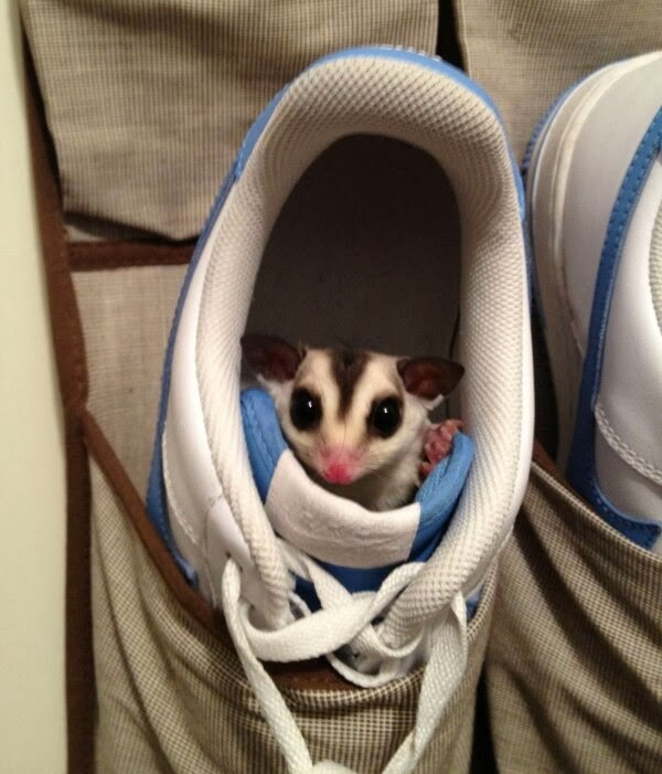 Funny animals of the week - 3 January 2014 (40 pics), sugar glider inside a shoe