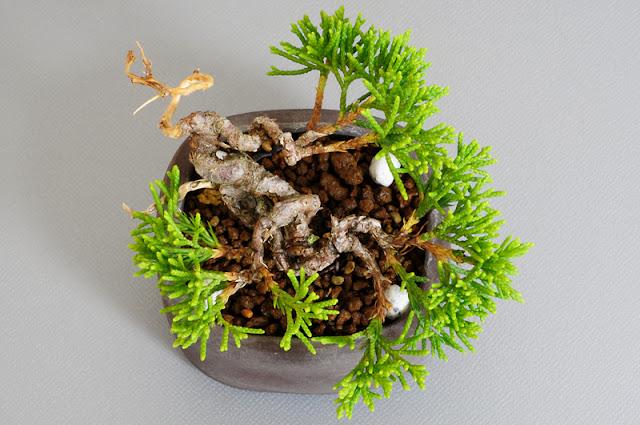 シンパク-F1(真柏盆栽)Juniperus chinensis bonsai