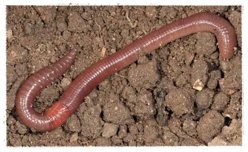 Gambar Cacing Schistosomiasis