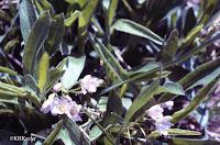 Claytonia spring beauty