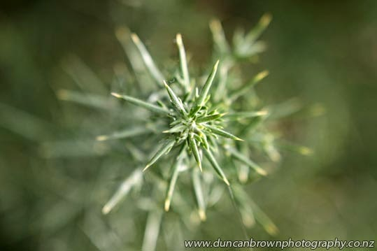 Spiky alpine plant photograph
