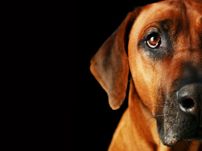 Rhodesian Ridgeback, dog portraits, photographs
