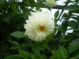 Media Belajarku Bunga Dahlia