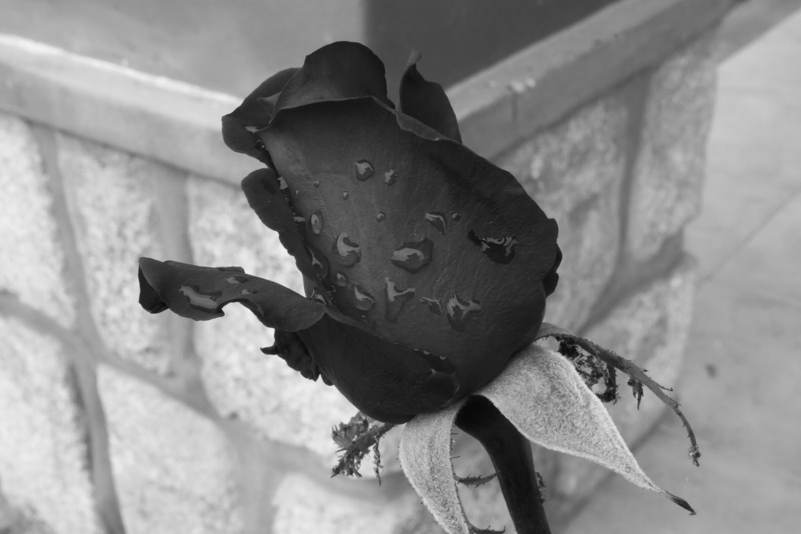 Imagen Rosas negras Imágenes facebook gratis - Imagenes De Rosas Negras Para Descargar