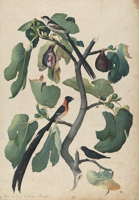 Mostra Jacopo Ligozzi Firenze - Tavole naturalistiche – Gli Uccelli - Ficus Carica (Ficus carica L.) con Vedova Domenicana (Vidua Macroura), Vedova Paradisea (Steganura paradisea) e Vedova Combassù (Hypochera Chalybeata), 1577-1587 ca