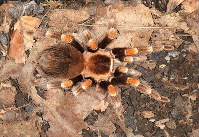 1 Tarantulas 10 of the Most Common, Weird and Creepy Animals as Pets