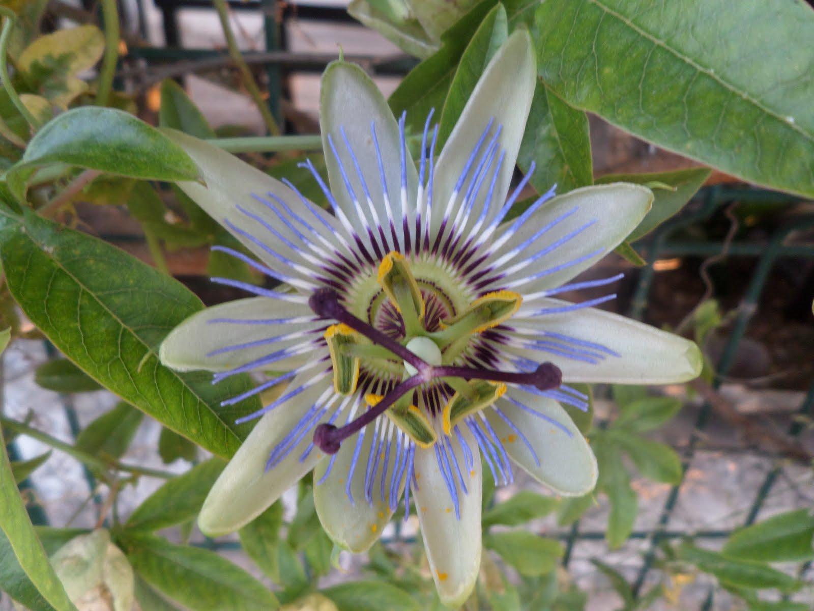 Plantes ornamentals