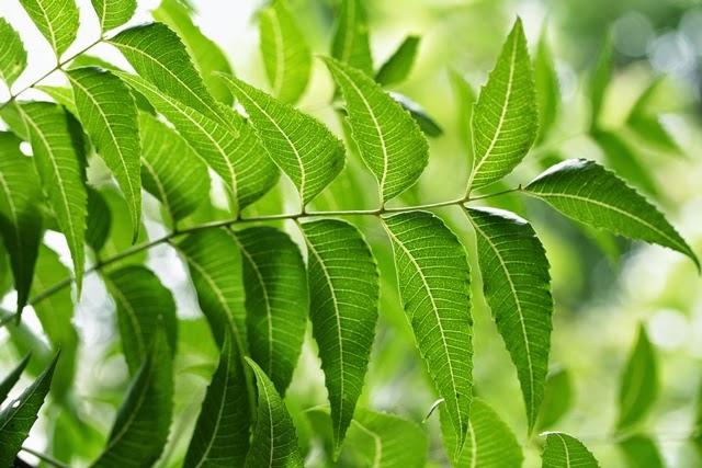 მცენარე ნიმი-ის სურათის შედეგი