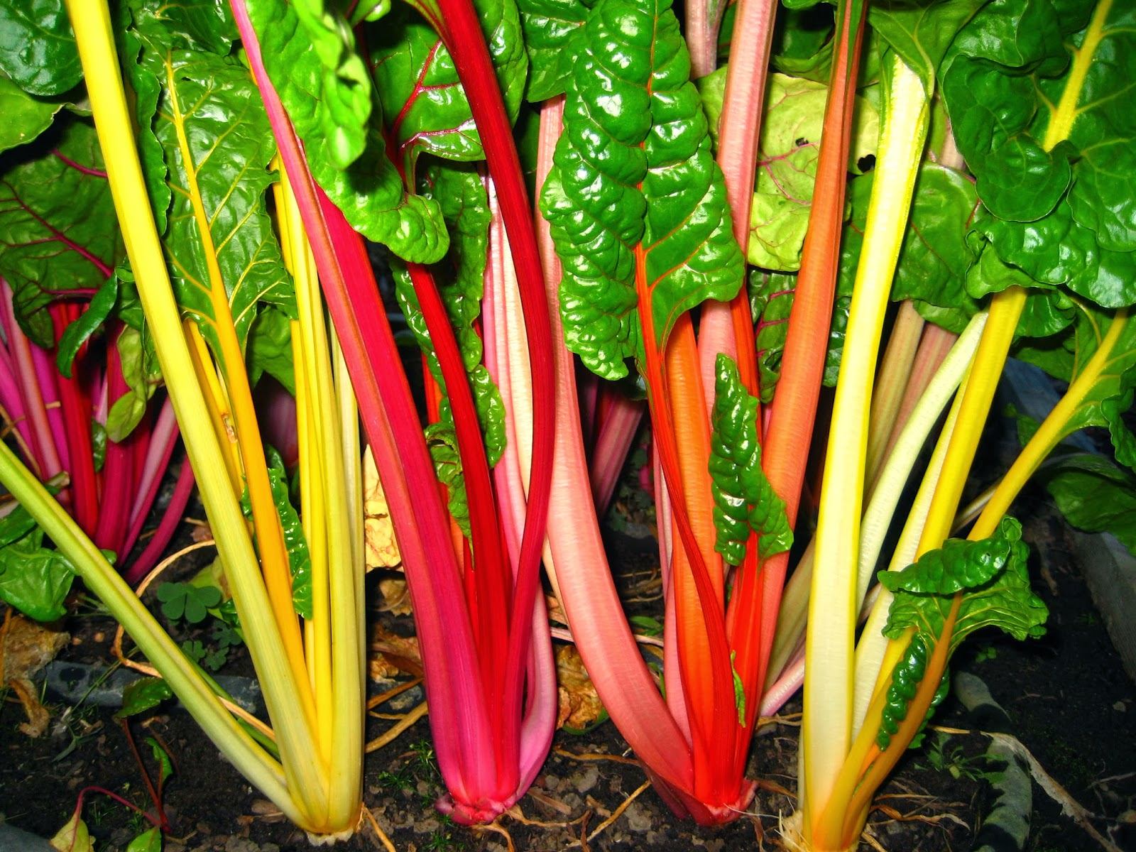 Swiss Chard cold hardiness research