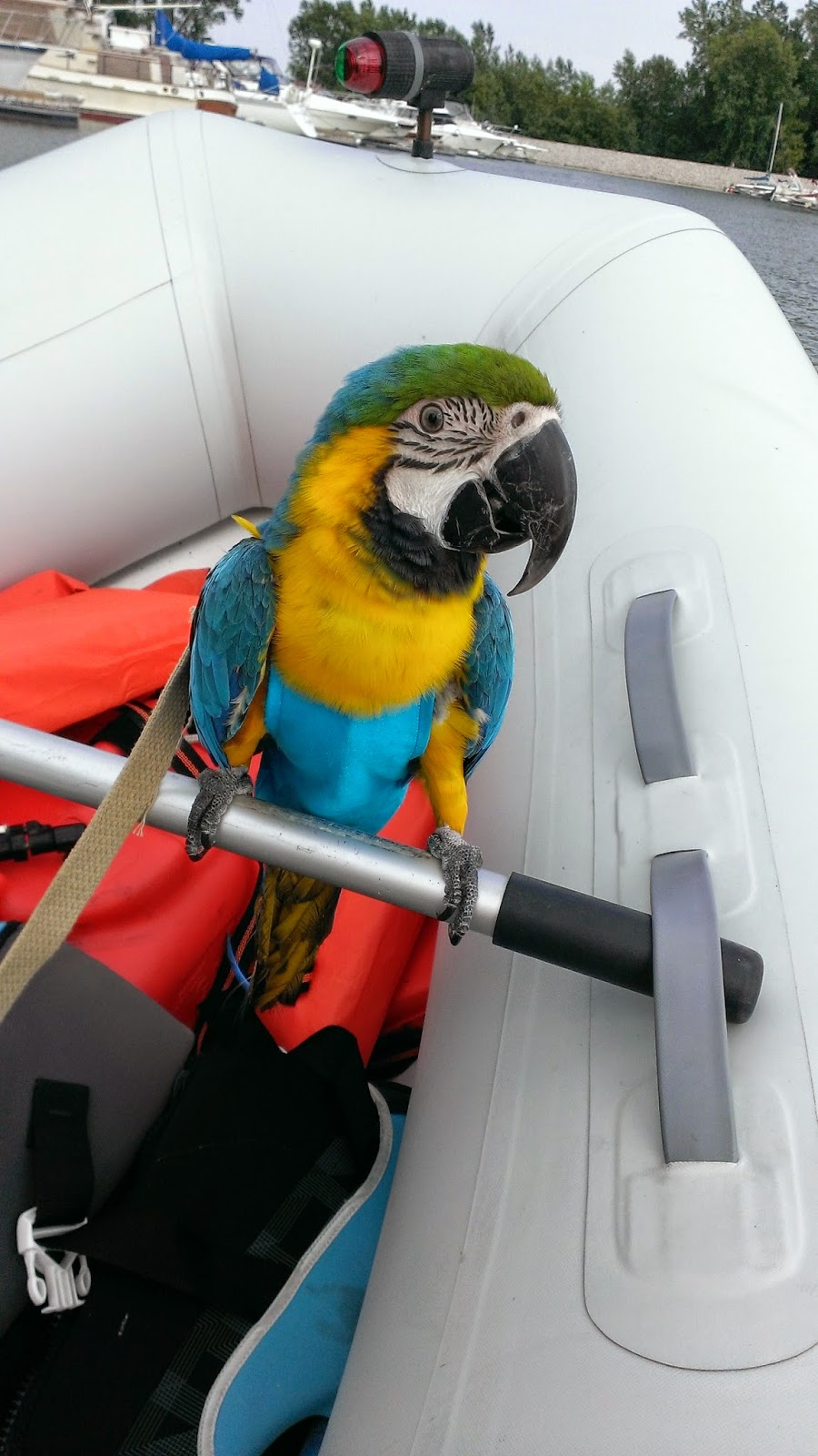 Blue and Gold Macaw parrot dinghy boat marina