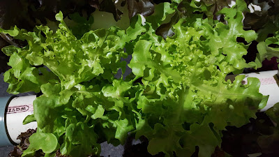 Amazing Benefits of Lettuce For Losing Weigt (Diet)