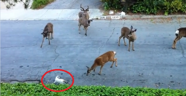 Herd Of Deer Encounters Strange New Creature Called Cat (VIDEO)