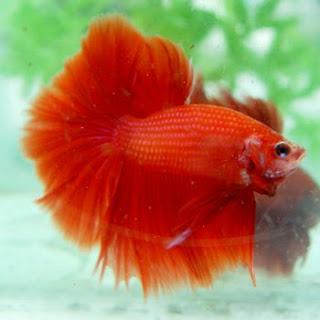 Arowana fish Red