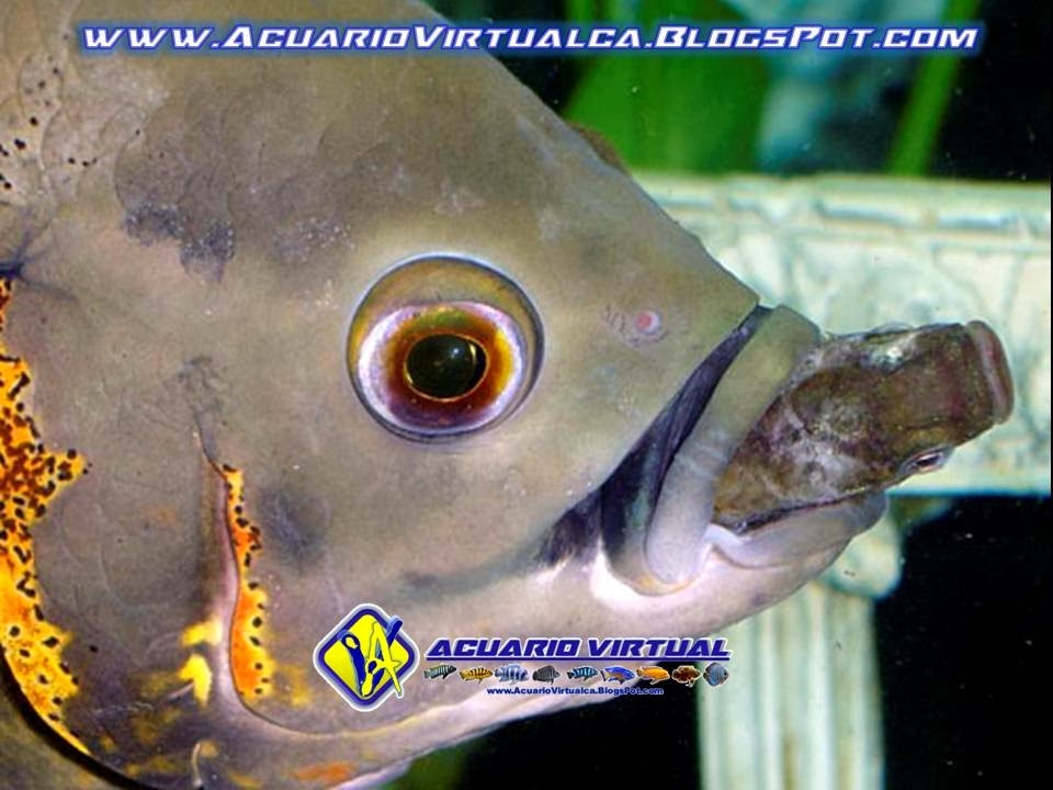 Acuario virtual la alimentaci n de los peces for Peces para criar