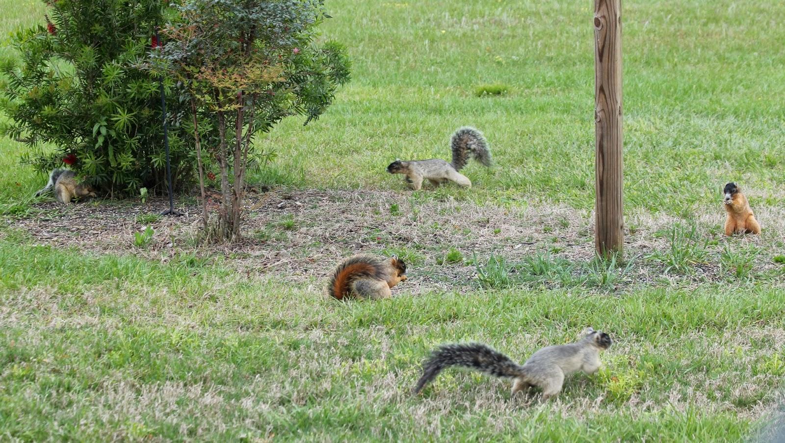 parker u0027s barkers florida u0027s endangered sherman fox squirrel