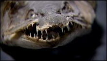 snakehead, giant fish, ikan gabus, ikan predator, ikan, bangkai ikan, ikan aneh