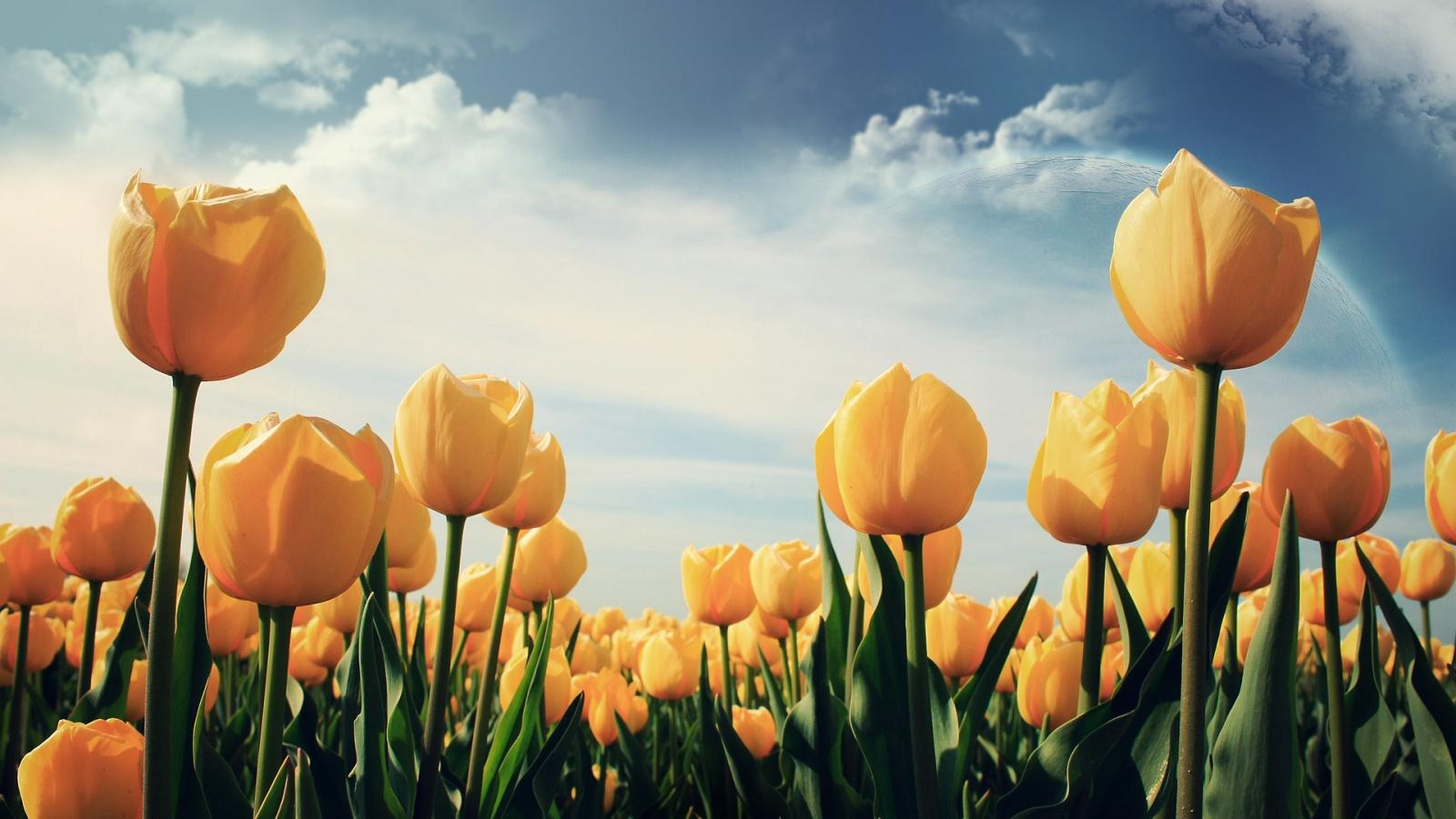 Tulip Ungu Wallpaper