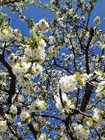 spring, blossoms, blue sky, sakura, flowers