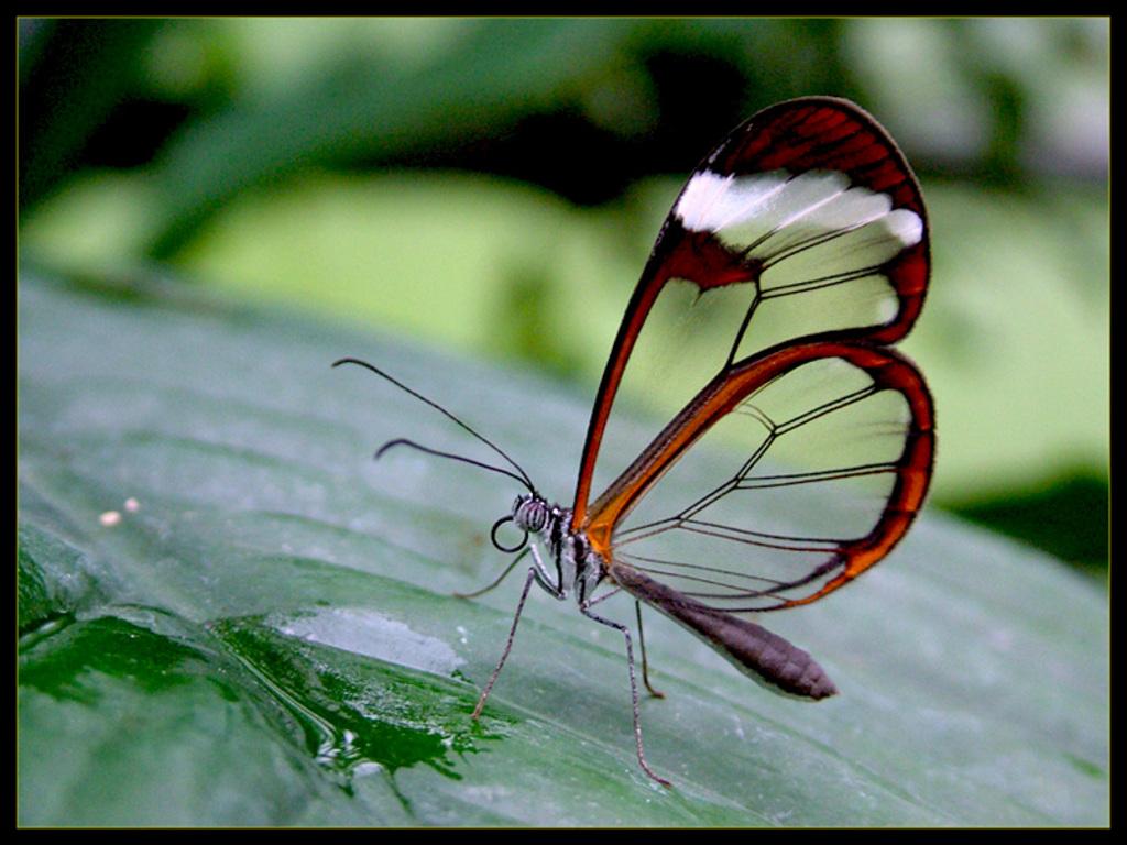 http://2.bp.blogspot.com/-cR8PAmdlukg/TrU-mA66cGI/AAAAAAAAAdQ/H7k5jlTVId0/s1600/Glass+winged+Butterfly.jpg