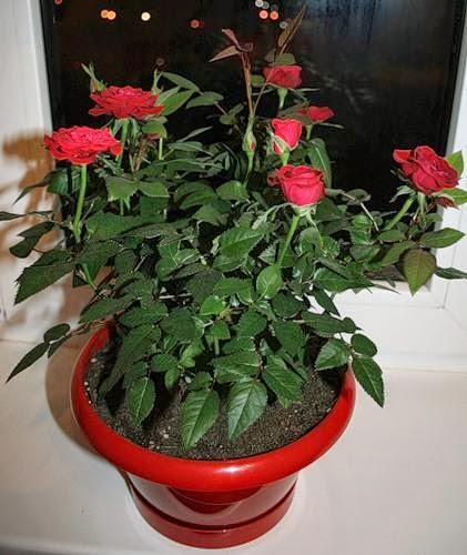 цветок роза домашняя уход фото