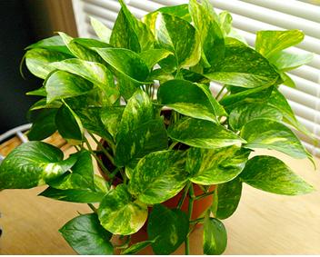 tanaman hias gantung cantik