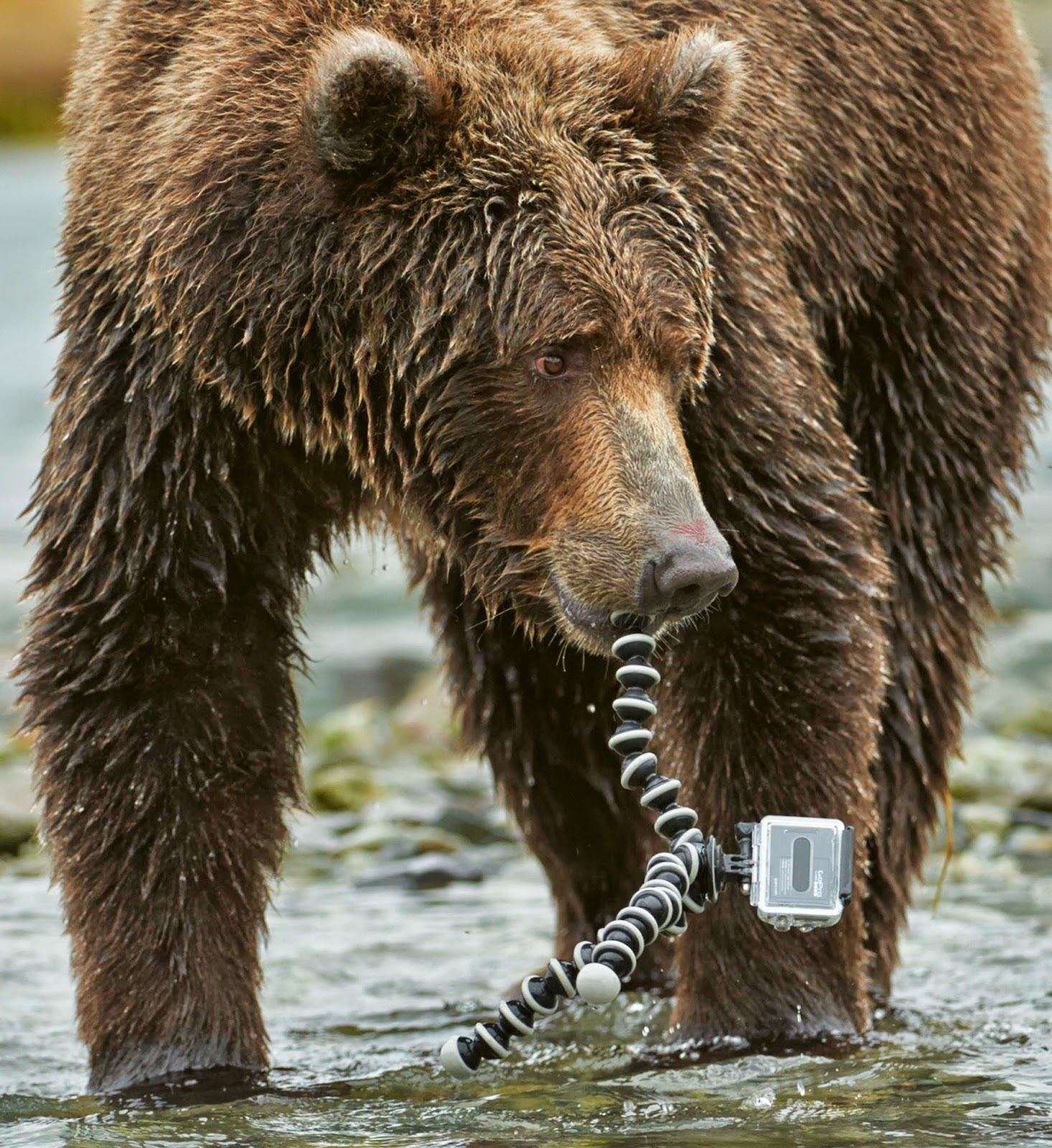 Grizzly bear eating Go...