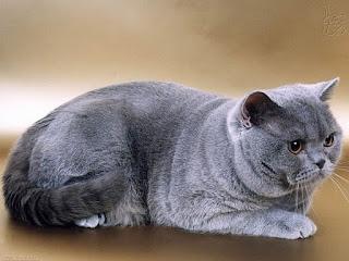 Bệnh vô sinh trên mèo