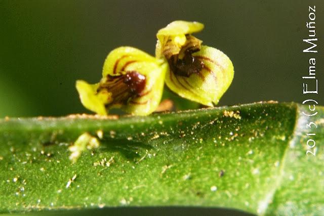 Pleurothallis sp. Orquideas peruanas
