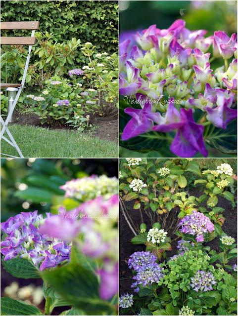 Blütenpracht Hortensien