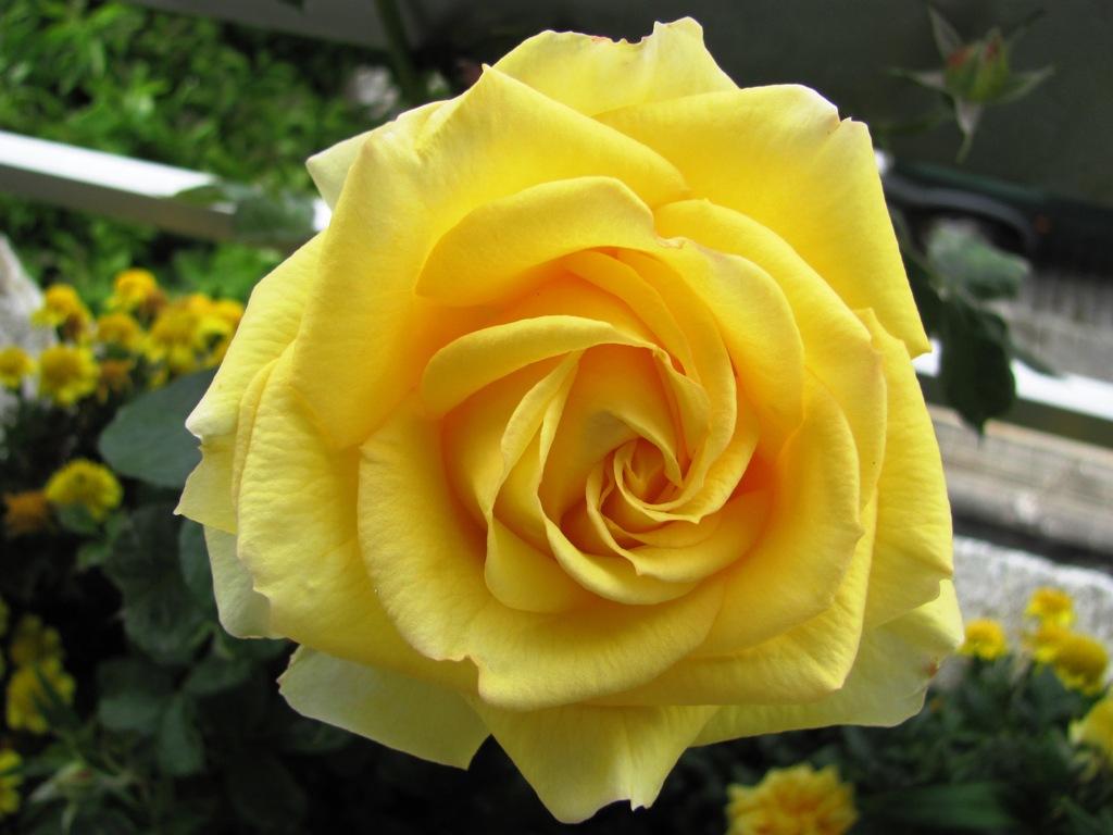 """jardim rosas amarelas : jardim rosas amarelas:Mulher Verde: As rosas, por Cristina Von (livro """"Viva com as Flores"""")"""