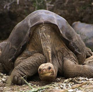 Spesies terakhir kura-kura gergasi mati di Galapagos