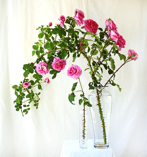 climbing roses with big thorns