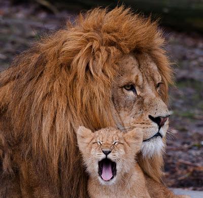 http://2.bp.blogspot.com/-cS4XS0m5bI0/TvkhD4YIvSI/AAAAAAAACLE/ykDKhrR3Mu4/s1600/leon-baby-lion-bebe-leones-felinos-amor-de-padre.jpg