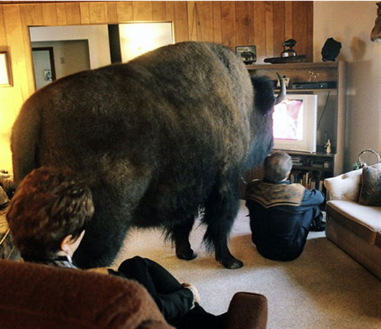 Funny Pictures Of Bison