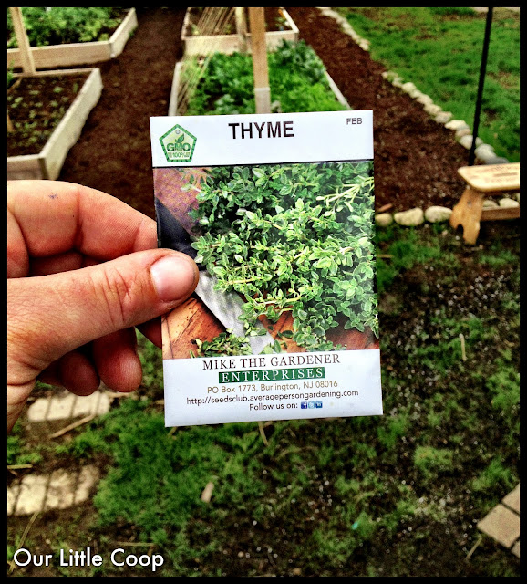 How to grow thyme from seed, seeds. Perennial plant, garden sow, evergreen, cook, non gmo