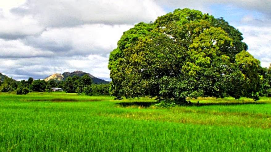 Thailand Reisfeld
