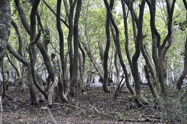 Mangroves, Carawah Reserve