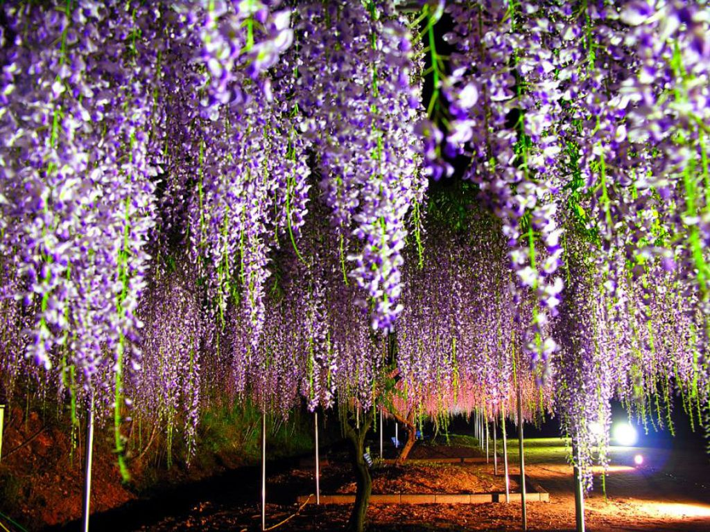 Wallpaper wisteria tree is extreem beauty of nature for The wisteria